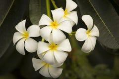 Άσπρο plumeria στον κήπο Στοκ Εικόνες