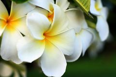 Άσπρο plumeria στον κήπο Στοκ φωτογραφία με δικαίωμα ελεύθερης χρήσης