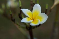 Άσπρο plumeria στον κήπο Στοκ εικόνα με δικαίωμα ελεύθερης χρήσης