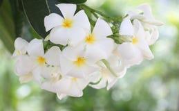 Άσπρο plumeria στο δέντρο Στοκ εικόνες με δικαίωμα ελεύθερης χρήσης