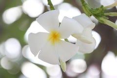 Άσπρο plumeria στο δέντρο Στοκ Εικόνες