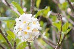 Άσπρο plumeria στο δέντρο Στοκ Φωτογραφία
