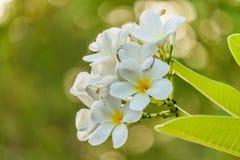 Άσπρο plumeria στο δέντρο plumeria στον κήπο Στοκ Φωτογραφίες