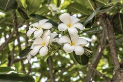 Άσπρο plumeria στο δέντρο plumeria Στοκ φωτογραφία με δικαίωμα ελεύθερης χρήσης