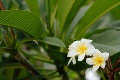 Άσπρο plumeria στο δέντρο plumeria Στοκ Εικόνες