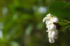Άσπρο plumeria στο δέντρο plumeria, Στοκ Φωτογραφίες