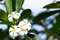 Άσπρο plumeria στο δέντρο plumeria, Στοκ φωτογραφία με δικαίωμα ελεύθερης χρήσης