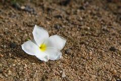 Άσπρο plumeria στο έδαφος, άσπρα plumeria και υπόβαθρο άμμου Στοκ Εικόνες