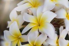 Άσπρο plumeria στο δέντρο plumeria, τροπικά λουλούδια Frangipani Στοκ εικόνες με δικαίωμα ελεύθερης χρήσης
