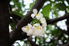 Άσπρο plumeria στο δέντρο στοκ φωτογραφίες
