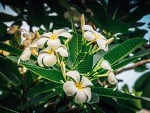 Άσπρο plumeria στο δέντρο plumeria, άσπρο frangipani Στοκ φωτογραφίες με δικαίωμα ελεύθερης χρήσης