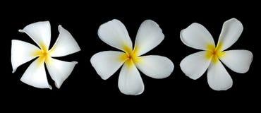 Άσπρο plumeria Στοκ φωτογραφία με δικαίωμα ελεύθερης χρήσης