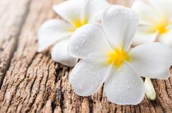 Άσπρο plumeria Στοκ Εικόνες