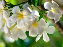Άσπρο plumeria Στοκ Εικόνα