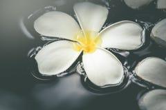 Άσπρο plumeria aromatherapy όμορφο σε φυσικό SPA νερού Στοκ Φωτογραφίες