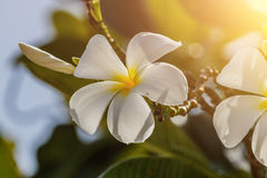 Άσπρο Plumeria fower στον ήλιο πρωινού στο δέντρο Plumeria Στοκ Φωτογραφία