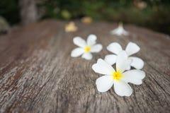 Άσπρο plumeria (frangipani) στο ξύλινο υπόβαθρο, εκλεκτική εστίαση Στοκ Φωτογραφία