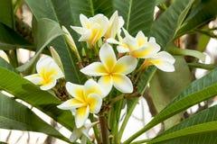Άσπρο Plumeria SSP (λουλούδια frangipani, Frangipani, παγόδα tre Στοκ φωτογραφία με δικαίωμα ελεύθερης χρήσης