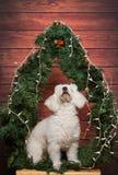 Άσπρο poodle ανατρέχει Στοκ εικόνα με δικαίωμα ελεύθερης χρήσης