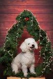 Άσπρο poodle γέλιου Στοκ εικόνα με δικαίωμα ελεύθερης χρήσης