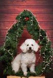Άσπρο poodle σκυλί Στοκ Φωτογραφίες