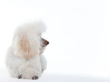 Άσπρο poodle σκυλί Στοκ Εικόνα