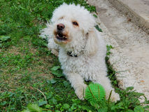 Άσπρο poodle Στοκ εικόνες με δικαίωμα ελεύθερης χρήσης