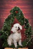 Άσπρο poodle burke στο υπόβαθρο Χριστουγέννων Στοκ εικόνες με δικαίωμα ελεύθερης χρήσης