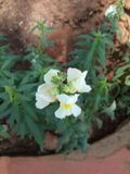 Άσπρο popcorn λουλούδι Στοκ Εικόνες