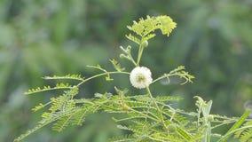 Άσπρο popinac στη φύση φιλμ μικρού μήκους