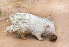Άσπρο porcupine που τρώει την καρύδα Στοκ εικόνες με δικαίωμα ελεύθερης χρήσης