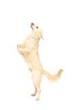 Άσπρο retriever σκυλί που στέκεται κατακόρυφα στα πόδια του στοκ φωτογραφία