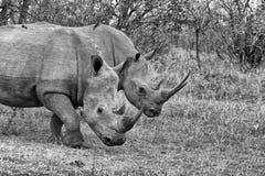 Άσπρο Rhinocerous Στοκ Φωτογραφίες