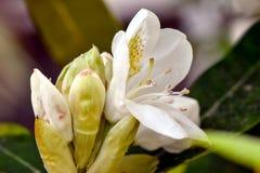 Άσπρο Rhododendron λουλούδι με τους οφθαλμούς Στοκ Εικόνα