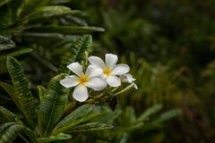 Άσπρο rubra Plumeria λουλουδιών plumeria Στοκ Εικόνες