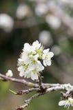 Άσπρο sakura ανθών κερασιών Στοκ φωτογραφία με δικαίωμα ελεύθερης χρήσης