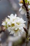 Άσπρο sakura ανθών κερασιών Στοκ εικόνα με δικαίωμα ελεύθερης χρήσης