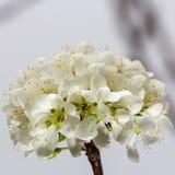 Άσπρο sakura ανθών κερασιών Στοκ Φωτογραφίες