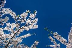Άσπρο sakura ενάντια στον ουρανό Στοκ εικόνα με δικαίωμα ελεύθερης χρήσης
