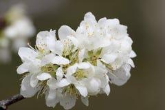 Άσπρο sakura κερασιών άνοιξη Στοκ φωτογραφία με δικαίωμα ελεύθερης χρήσης