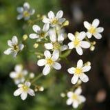 Άσπρο saxifrage βουνών Στοκ εικόνα με δικαίωμα ελεύθερης χρήσης