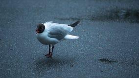 Άσπρο seagull με το ανοικτό ράμφος Στοκ φωτογραφία με δικαίωμα ελεύθερης χρήσης