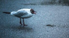 Άσπρο seagull με το ανοικτό ράμφος Στοκ φωτογραφίες με δικαίωμα ελεύθερης χρήσης