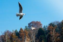 Άσπρο Seagull στο Τορίνο Στοκ Εικόνα
