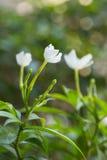 Άσπρο Snowflake λουλούδι ή λουλούδι antidysenterica Wrightia Στοκ φωτογραφίες με δικαίωμα ελεύθερης χρήσης
