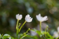 Άσπρο Snowflake λουλούδι ή λουλούδι antidysenterica Wrightia Στοκ εικόνα με δικαίωμα ελεύθερης χρήσης