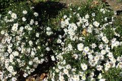 Άσπρο Symphyotrichum dumosum ανθίσματος στον κήπο στοκ εικόνες