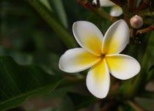 Άσπρο tropiacal λουλούδι frangipani ή plumeria στο πράσινο υπόβαθρο Στοκ εικόνα με δικαίωμα ελεύθερης χρήσης