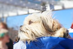 Άσπρο tzu shih που στηρίζεται το κεφάλι του και που απολαμβάνει τη θέα σε ένα μπλε σακίδιο πλάτης στοκ φωτογραφία