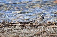 Άσπρο wagtail στην παραλία Στοκ Εικόνα